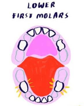ترتيب ظهور الاسنان عند الرضع - الضرسان السفليان