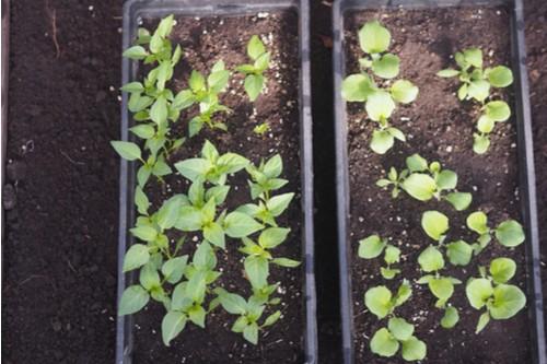 زراعة الباذنجان في المنزل - زراعة الباذنجان